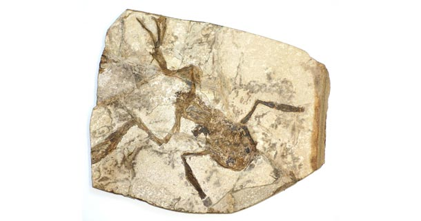 Fossil frog, by kevinzim on Flickr